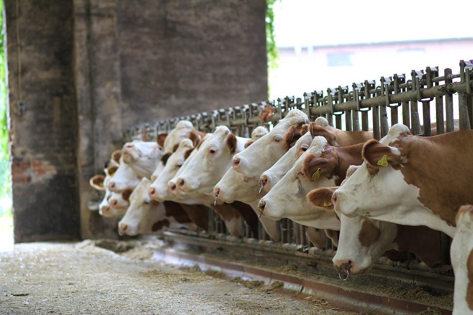 Petition gegen den 1000-Kühestall in Ostrach-Hahnennest